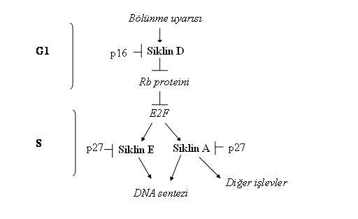 östrojen reseptörü pozitif nedir